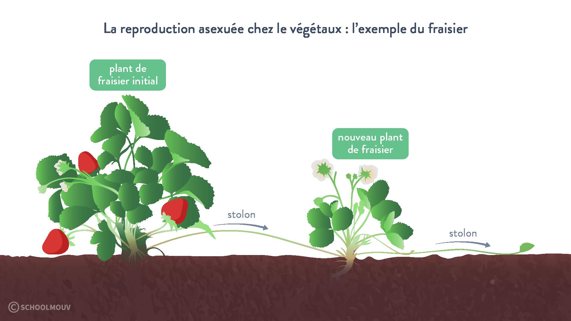 Schéma de la reproduction asexuée du fraisier