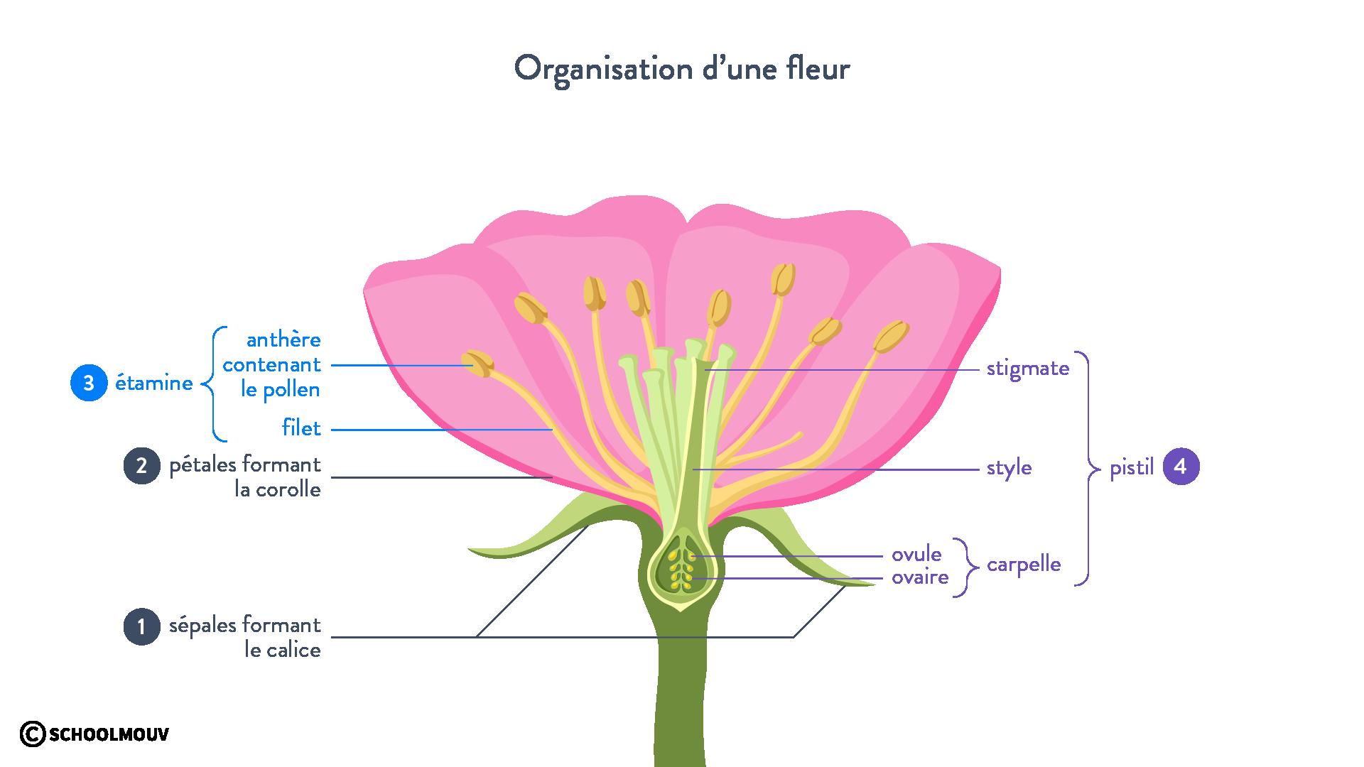 organisation d'une fleur organe plante