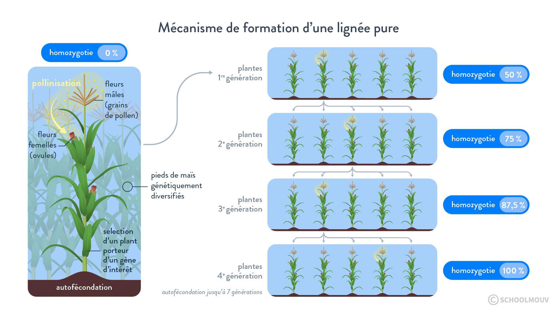 Mécanisme de formation d'une lignée pure
