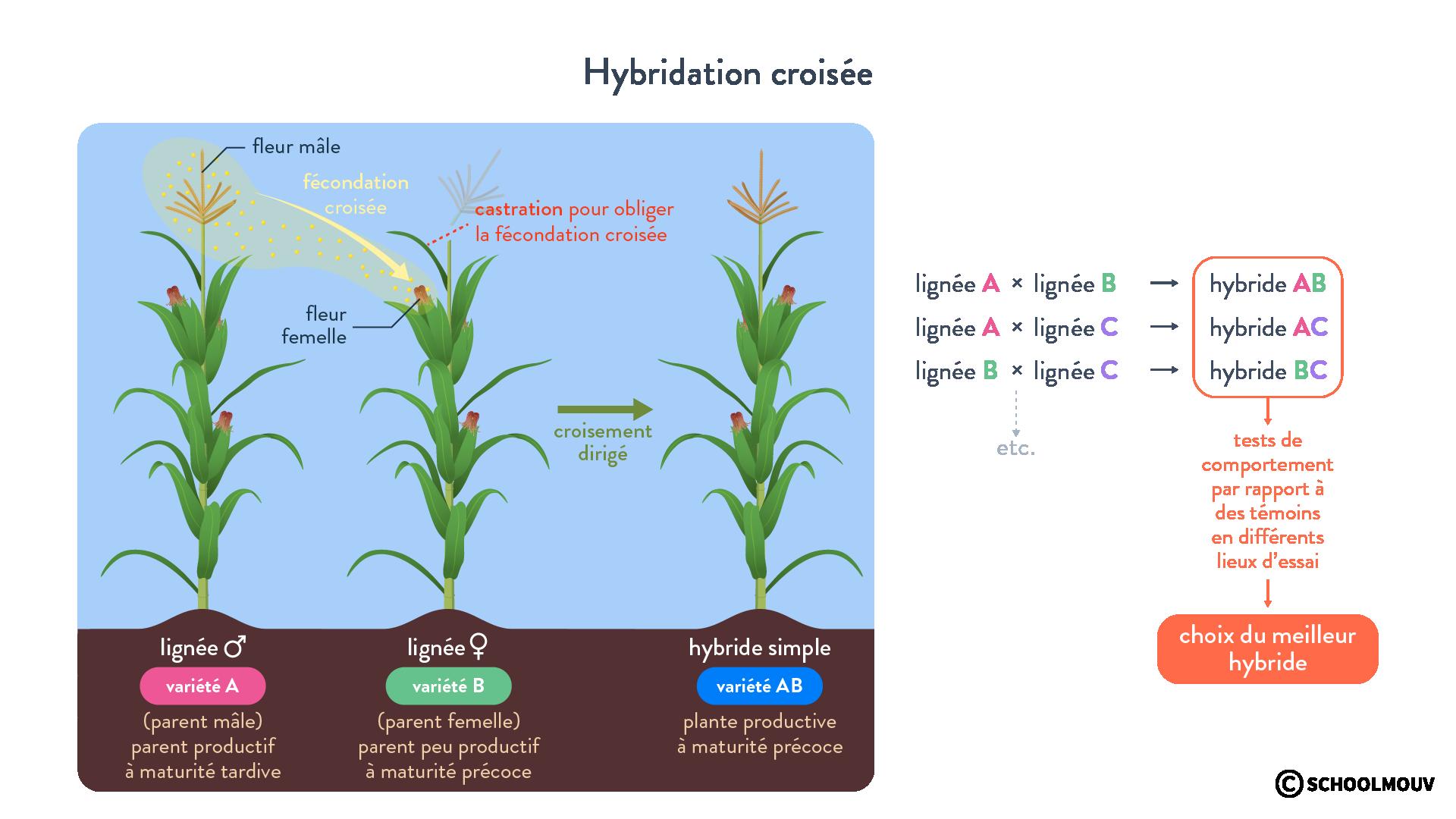 Hybridation croisée