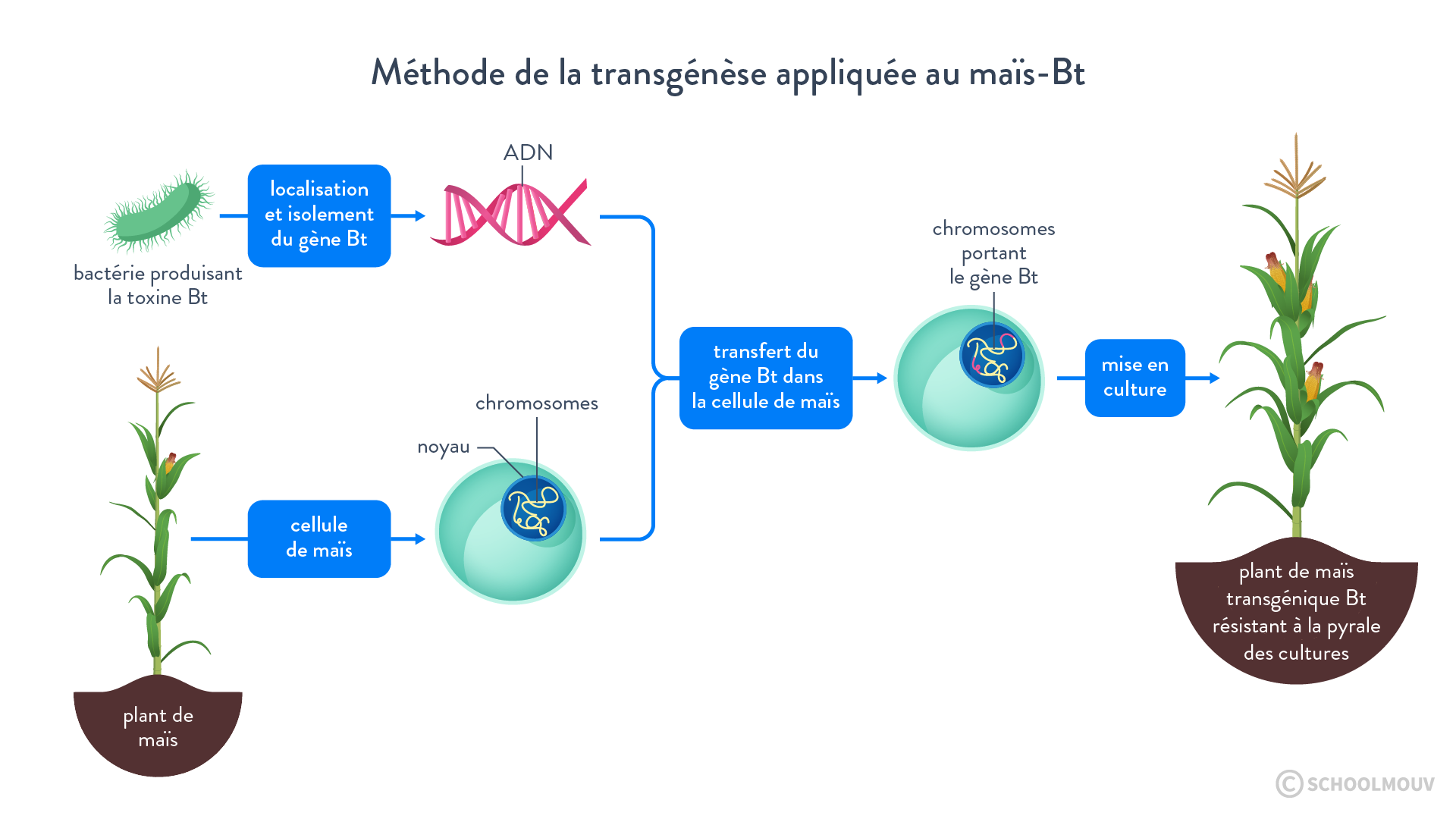 Méthode de la transgenèse appliquée au maïs-Bt