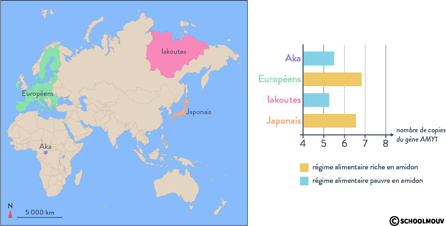 Nombre de copie du gène de l'amylase en fonction des populations